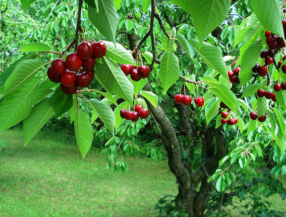 Michigan S Sour Cherry Producers Are Sometimes Forced To Dump Crops Control Market Supply Even