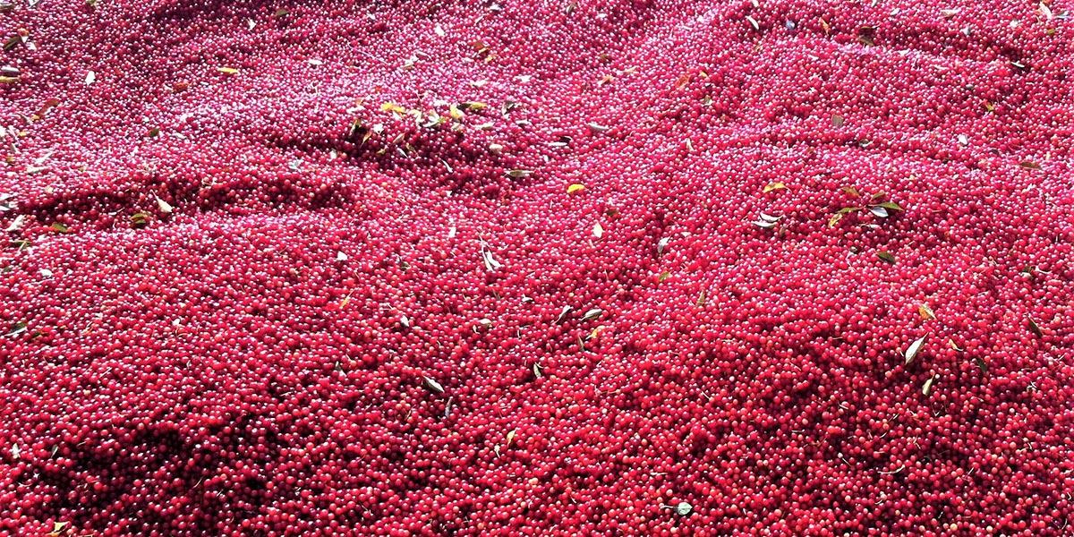 A summer of despair for Michigan's cherry growers | Bridge