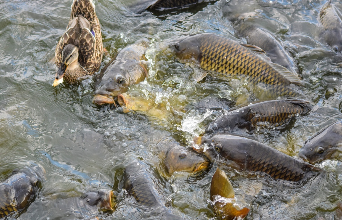 Thrashing Asian carp