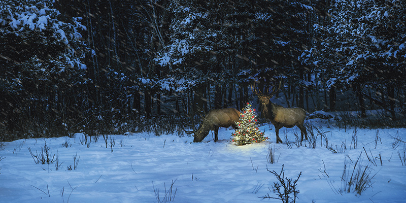 Two bulls standing next to a Christmas tree on a dark, snowy evening