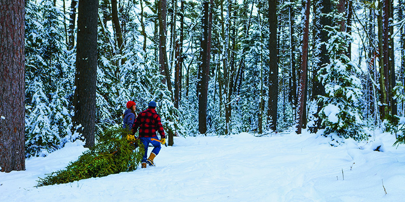 A couple dragging a Christmas tree through the woods