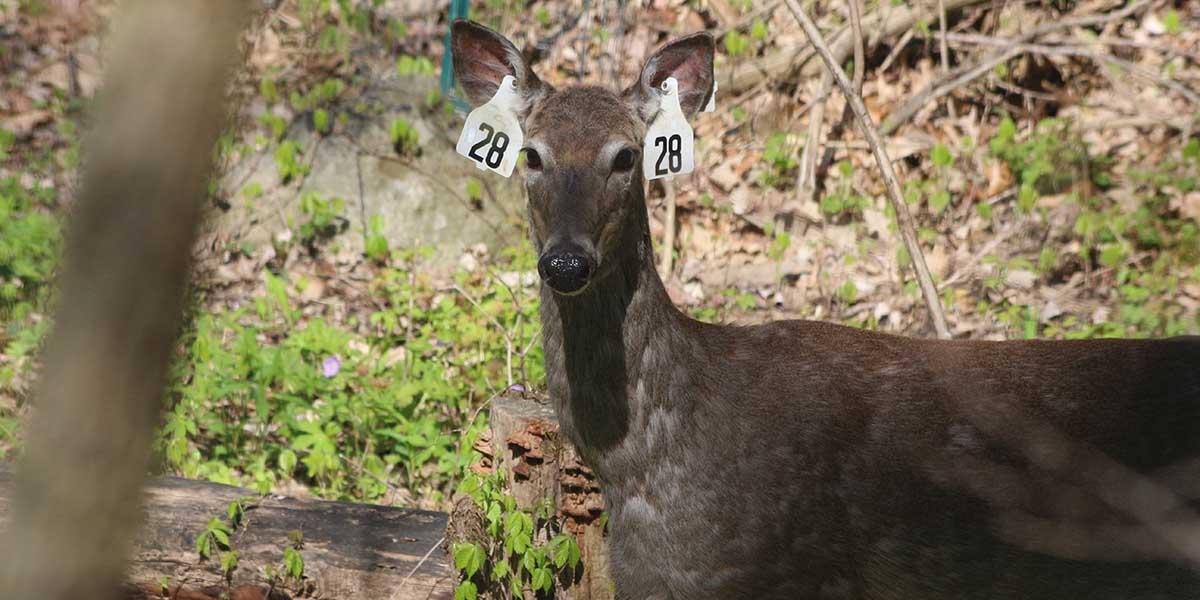 No joke: Ann Arbor is removing deer ovaries  Lawmakers aren