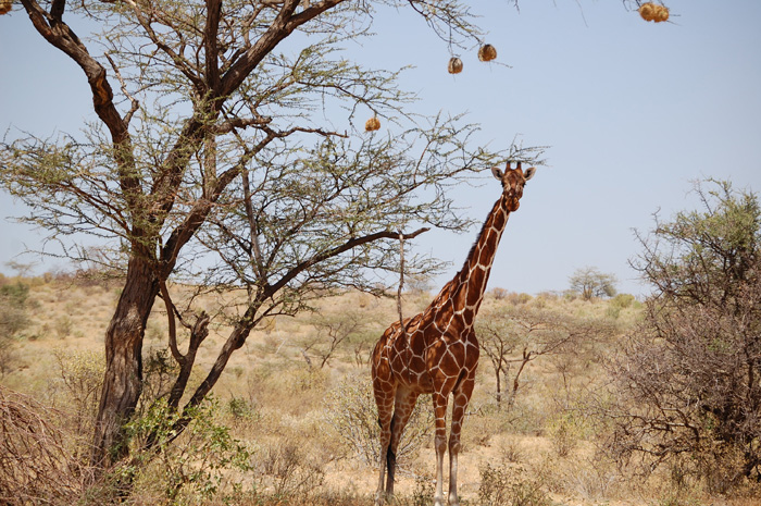 A giraffe standing near a tall tree