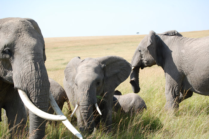 A group of elephants in a dry, grassy field