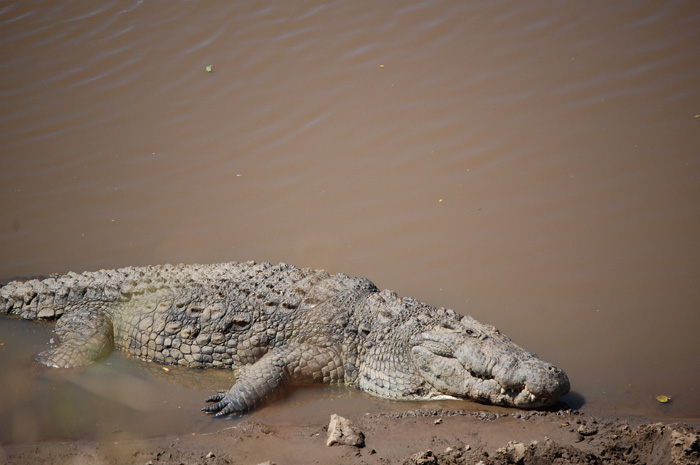 An alligator lounging at the edge of the muddy water
