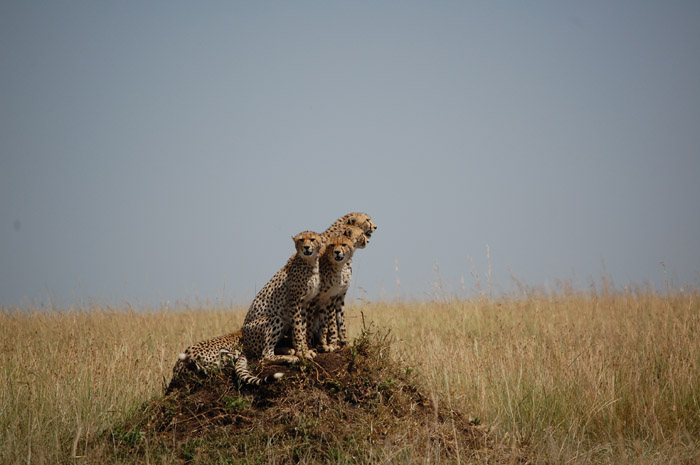 A pack of cheetahs standing on a mound, looking outward