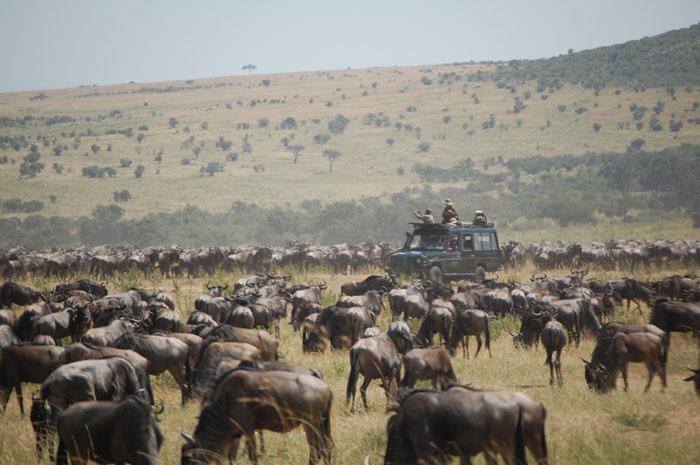A safari vehicle driving through a field of animals