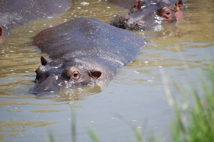 Two hippos mostly submerged in muddy water