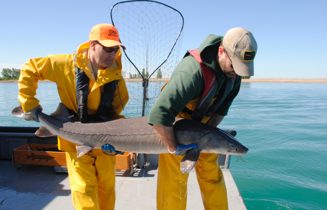 Michigan environment roundup: Lake sturgeon on the rebound