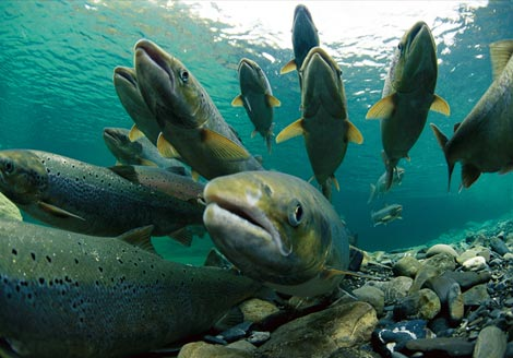 Fishing captains' nerves rattled by Lake Michigan salmon