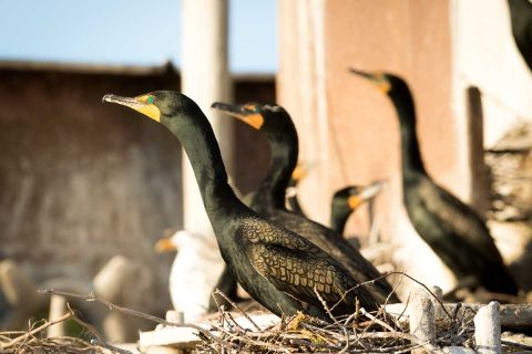 After federal rule change  Michigan resumes killing cormorants to save fish