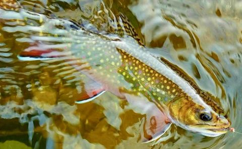 Fixing typo, Michigan loosens U.P. brook trout limits — for now