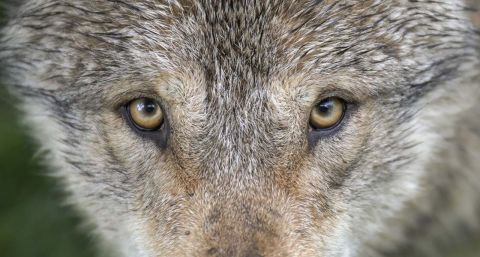 The debate is on: Will wolves move to Michigan's Lower Peninsula?