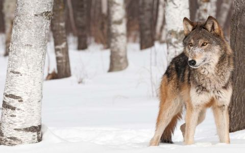 Wolves face genetic challenge in Michigan's Isle Royale, study says