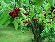 Cherry wars: The crazy economics of Michigan's favorite pitted fruit