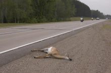 A broader deer hunt would save fenders and feed the needy