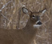 What's Michigan deer season for? Trophies or venison?