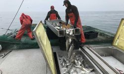 Crewmembers on Dana Serafin's boat, Independence, pour whitefish into containers on the fishing boat this week